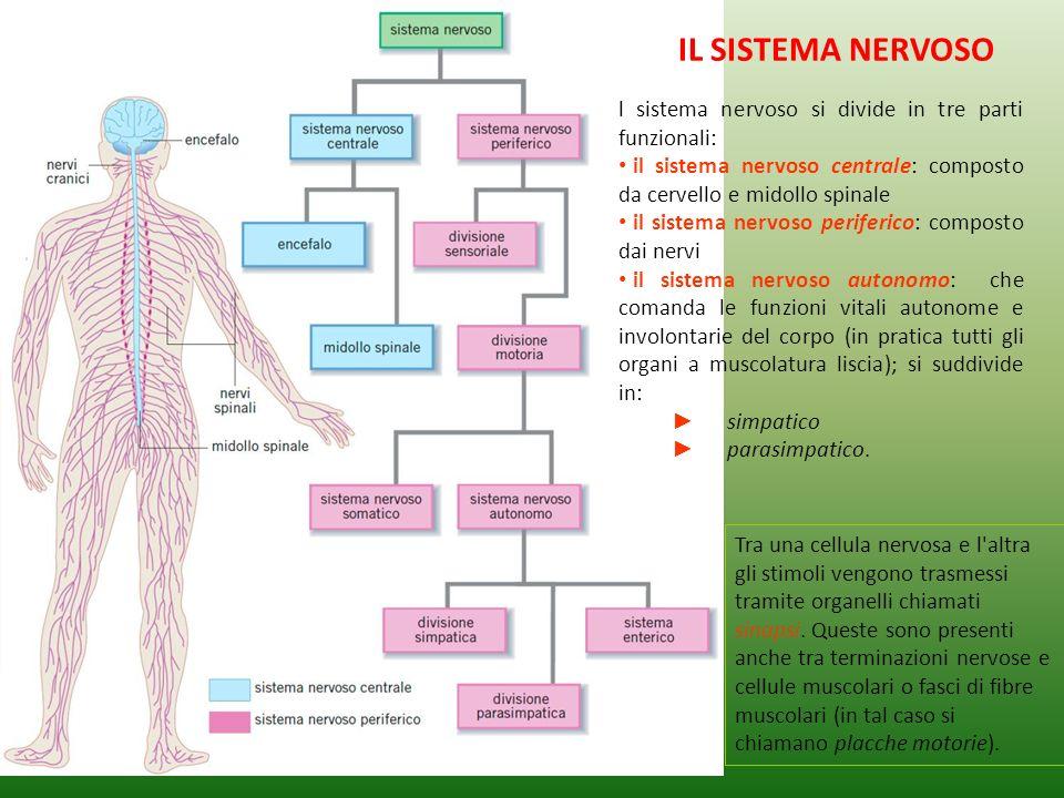 Reazioni del sistema nervoso Movimento volontarioMovimento riflesso DoveSistema nervoso centrale e muscoli o organi Sistema nervoso periferico, organi sensoriali e muscoli ProcedimentoSi parte da uno stimolo alla base del cervello, procede lungo il midollo spinale ed arriva ai muscoli o organi interessati Un avvenimento improvviso fa partire uno stimolo da una terminazione nervosa o da un organo sensitivo (sede di un senso) passa lungo il sistema nervoso periferico fino ad arrivare al sistema nervoso centrale; da lì linformazione viene immediatamente rinviata ai muscoli in grado di evitare quellavvenimento.