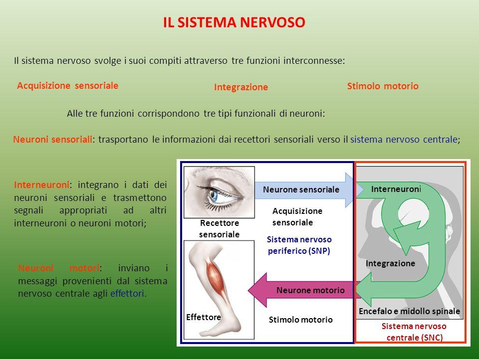 Muscolo quadricipite Muscoli flessori Midollo spinale Nervo SNP Ganglio SNC Encefalo Interneurone 4 2 Neurone sensoriale 3 Motoneurone 1 Recettore Un esempio è rappresentato dal circuito che produce risposte automatiche agli stimoli (riflessi) Effettore (muscolo o ghiandola) Recettore (organo di senso) Neurone sensoriale Interneuroni (neuroni di collegamento) Neurone motorio Il sistema nervoso riceve e interpreta gli impulsi sensoriali e trasmette quindi i comandi appropriati IL SISTEMA NERVOSO