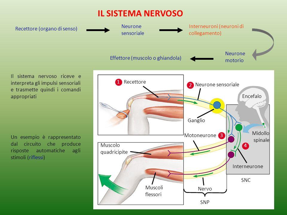 Muscolo quadricipite Muscoli flessori Midollo spinale Nervo SNP Ganglio SNC Encefalo Interneurone 4 2 Neurone sensoriale 3 Motoneurone 1 Recettore Un