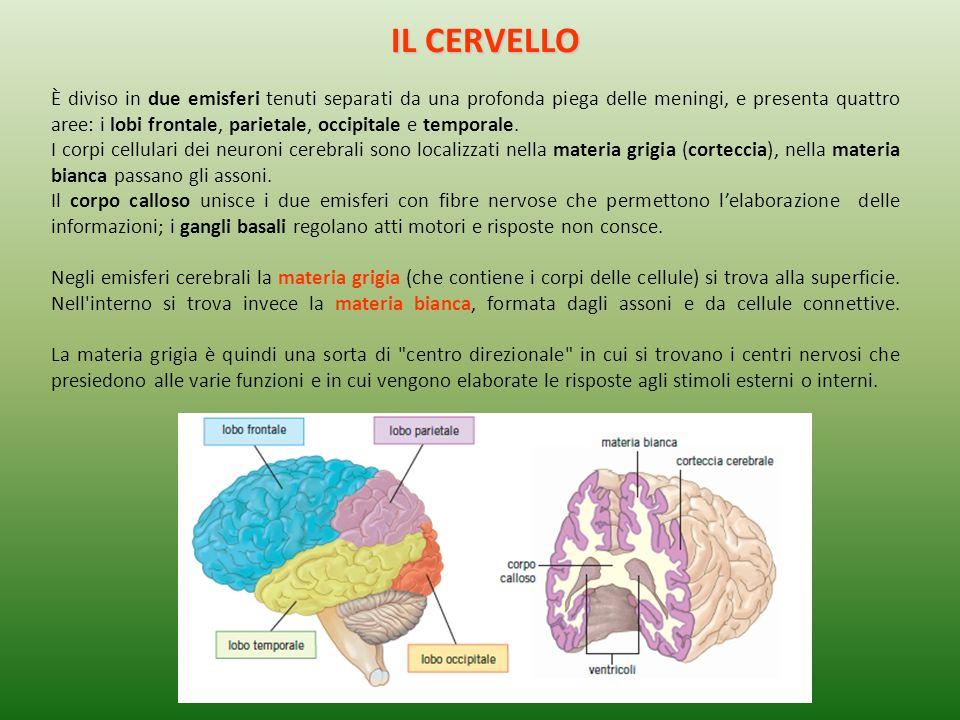 IL CERVELLO È diviso in due emisferi tenuti separati da una profonda piega delle meningi, e presenta quattro aree: i lobi frontale, parietale, occipit