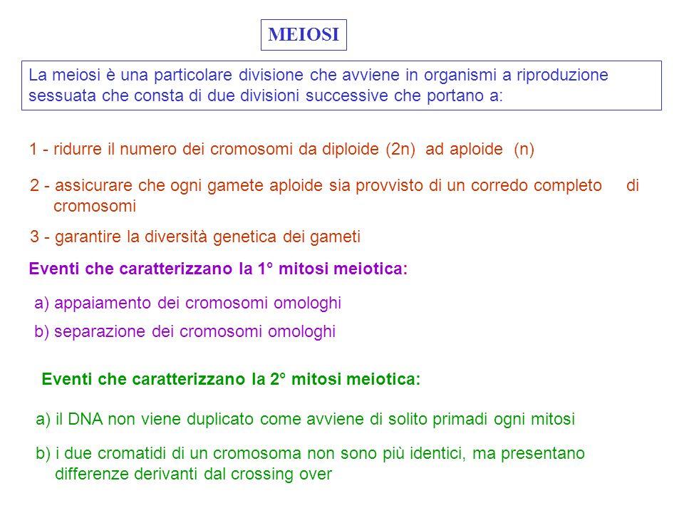 MITOSI 1 MITOSI 2 ( Profase, Metafase,Anafase, Telofase ) ( Leptotene, Zigotene, Pachitene, Diplotene, Diacinesi )