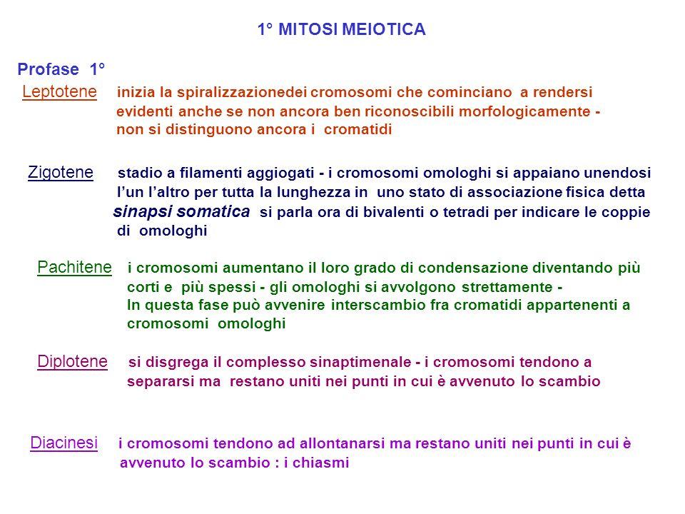 MEIOSI La meiosi è una particolare divisione che avviene in organismi a riproduzione sessuata che consta di due divisioni successive che portano a: 1