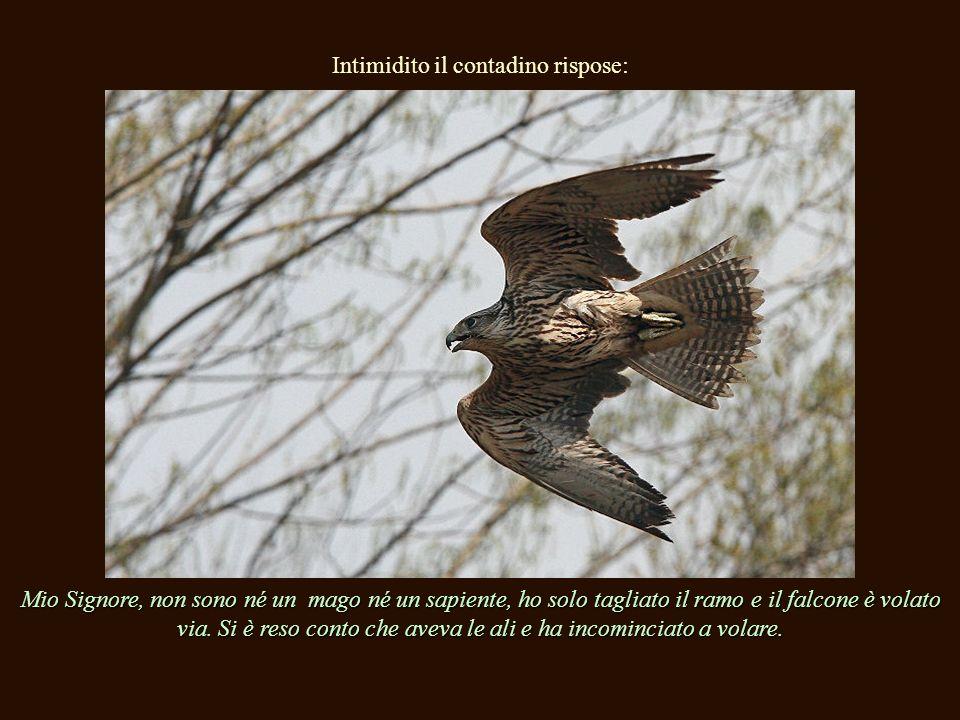 Intimidito il contadino rispose: Mio Signore, non sono né un mago né un sapiente, ho solo tagliato il ramo e il falcone è volato via.