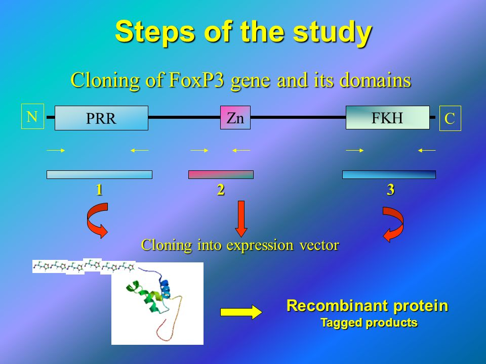 Steps of the study Cloning of FoxP3 gene and its domains ZnFKH Cloning into expression vector N CPRR 1 2 3 Recombinant protein Tagged products Tagged