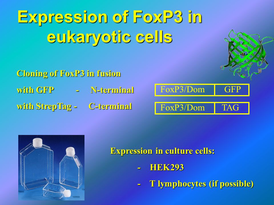 Expression of FoxP3 in eukaryotic cells Cloning of FoxP3 in fusion with GFP - N-terminal with StrepTag - C-terminal Expression in culture cells: - HEK