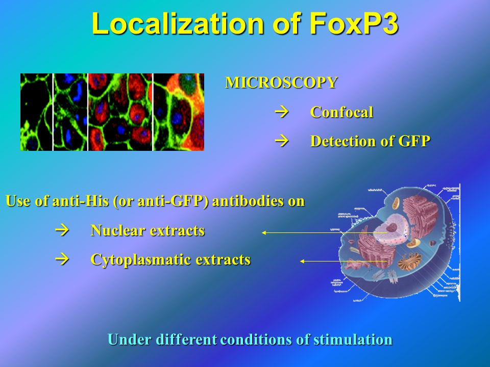 Localization of FoxP3 MICROSCOPY Confocal Confocal Detection of GFP Detection of GFP Use of anti-His (or anti-GFP) antibodies on Nuclear extracts Nucl