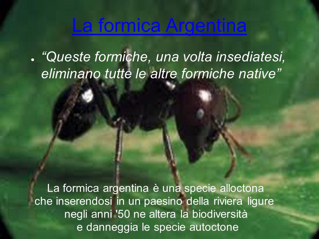 La formica Argentina Queste formiche, una volta insediatesi, eliminano tutte le altre formiche native La formica argentina è una specie alloctona che