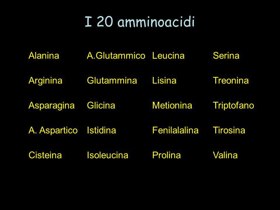 AlaninaA.GlutammicoLeucinaSerina ArgininaGlutamminaLisinaTreonina AsparaginaGlicinaMetioninaTriptofano A. AsparticoIstidinaFenilalalinaTirosina Cistei