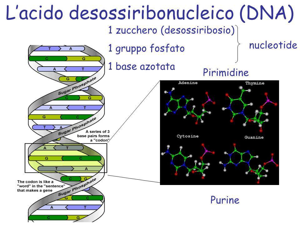 Lacido desossiribonucleico (DNA) Purine Pirimidine 1 zucchero (desossiribosio) 1 gruppo fosfato 1 base azotata nucleotide