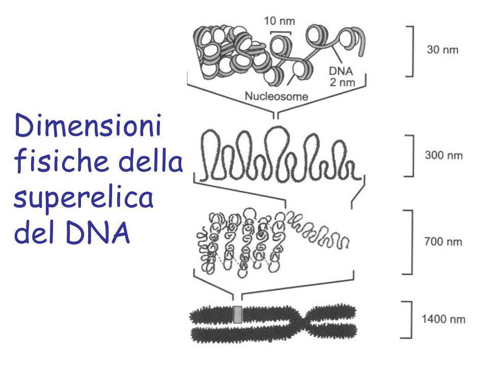 Dimensioni fisiche della superelica del DNA