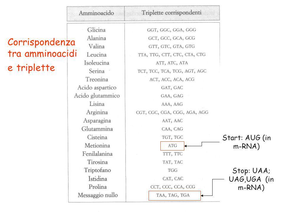 Start: AUG (in m-RNA) Stop: UAA; UAG,UGA (in m-RNA) Corrispondenza tra amminoacidi e triplette