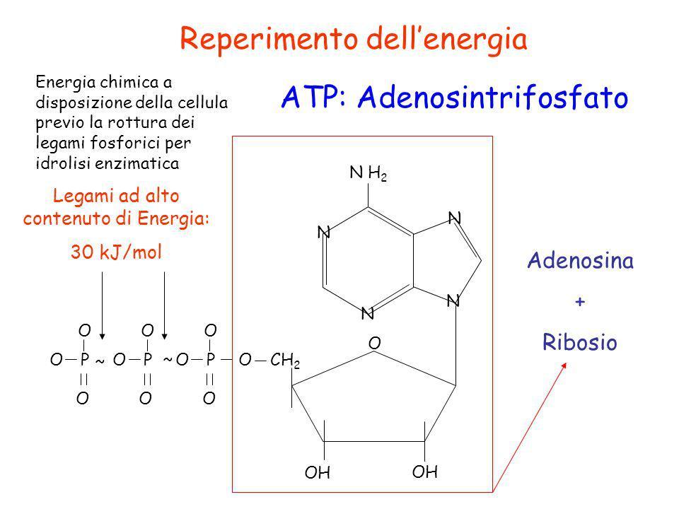 Reperimento dellenergia ATP: Adenosintrifosfato N N N N N H 2 O OH CH 2 OPOPOPO OOO OOO ~ ~ Legami ad alto contenuto di Energia: 30 kJ/mol Energia chi