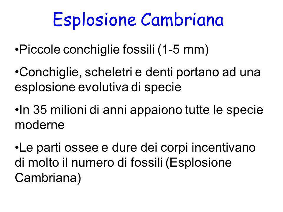 Esplosione Cambriana Piccole conchiglie fossili (1-5 mm) Conchiglie, scheletri e denti portano ad una esplosione evolutiva di specie In 35 milioni di