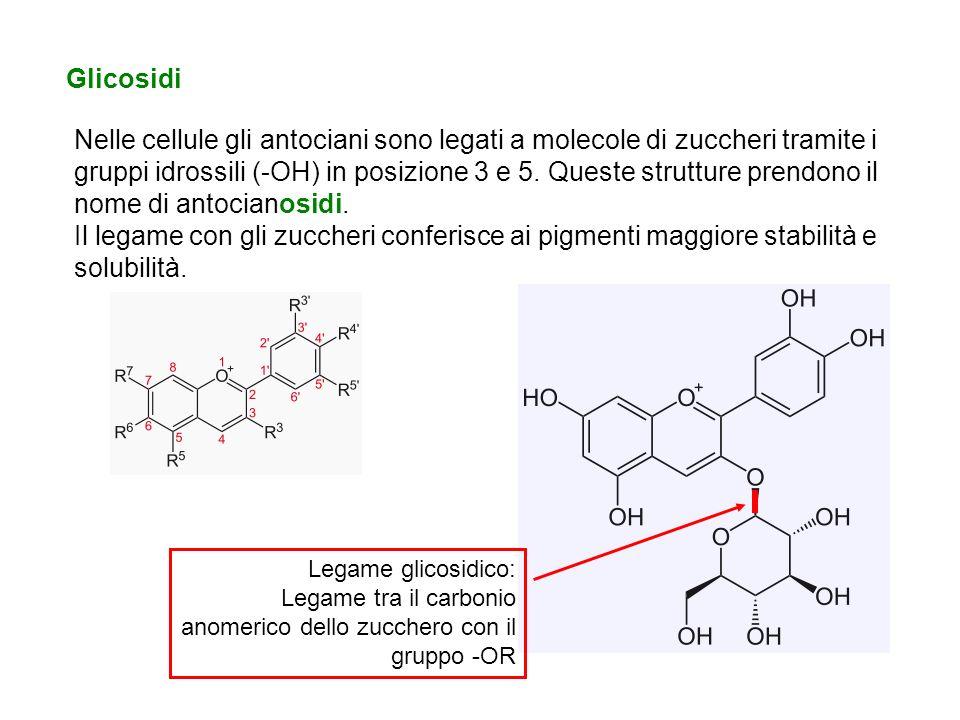 Glicosidi Nelle cellule gli antociani sono legati a molecole di zuccheri tramite i gruppi idrossili (-OH) in posizione 3 e 5. Queste strutture prendon
