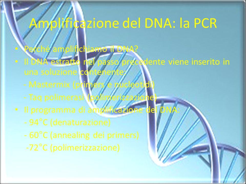 Amplificazione del DNA: la PCR Perché amplifichiamo il DNA? Il DNA estratto nel passo precedente viene inserito in una soluzione contenente: - Masterm