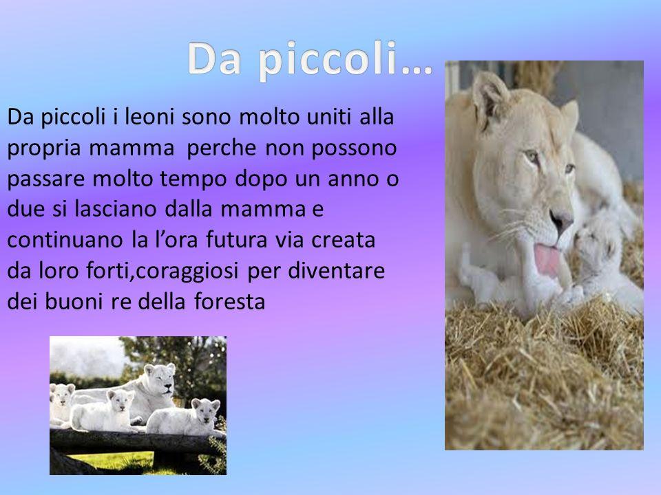 Da piccoli i leoni sono molto uniti alla propria mamma perche non possono passare molto tempo dopo un anno o due si lasciano dalla mamma e continuano la lora futura via creata da loro forti,coraggiosi per diventare dei buoni re della foresta