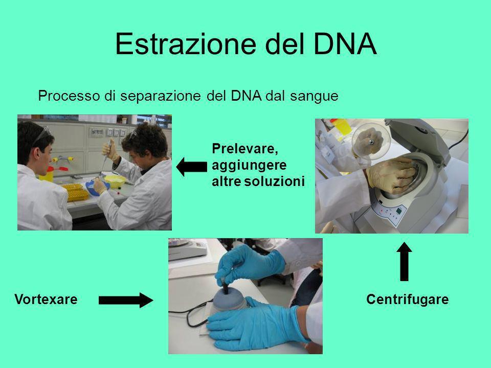 Estrazione del DNA Processo di separazione del DNA dal sangue VortexareCentrifugare Prelevare, aggiungere altre soluzioni