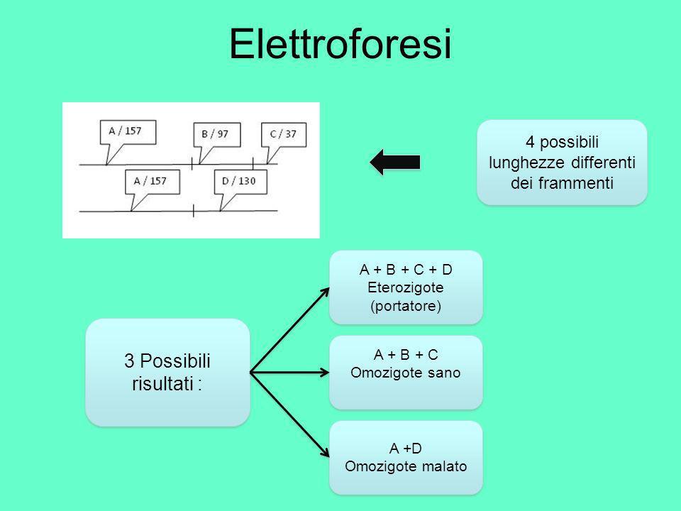 Risultati Elettroforesi start B (97) C(37) A (157) Guardando il gel di agarosio con gli UV ci accorgiamo che abbiamo ottenuto 3 bande, ciò significa che si tratta di un omozigote sano