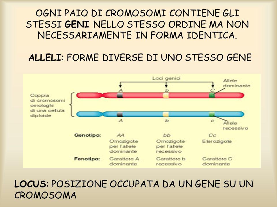 LIPOTESI DI MENDEL: (in termini moderni) -I fattori responsabili della trasmissione ereditaria dei caratteri sono unità discrete (geni) che compaiono in coppie, esistono in forme alternative (alleli) e si separano (segregano) durante la formazione dei gameti.