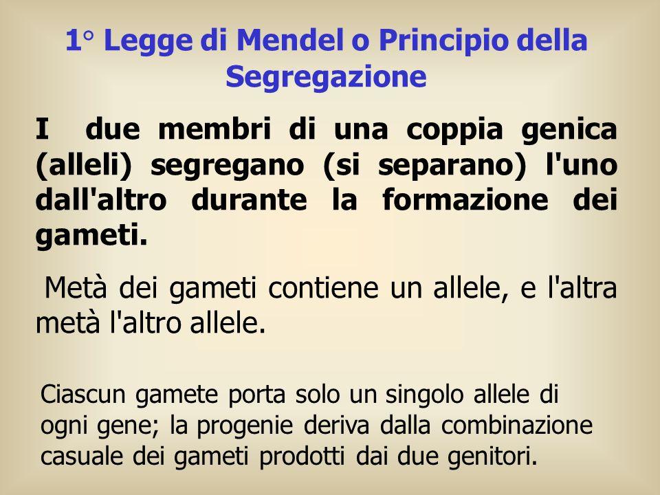 1° Legge di Mendel o Principio della Segregazione I due membri di una coppia genica (alleli) segregano (si separano) l'uno dall'altro durante la forma