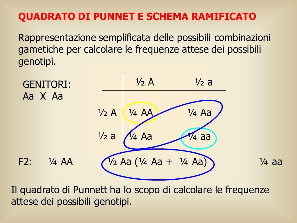 QUADRATO DI PUNNET E SCHEMA RAMIFICATO Rappresentazione semplificata delle possibili combinazioni gametiche per calcolare le frequenze attese dei poss