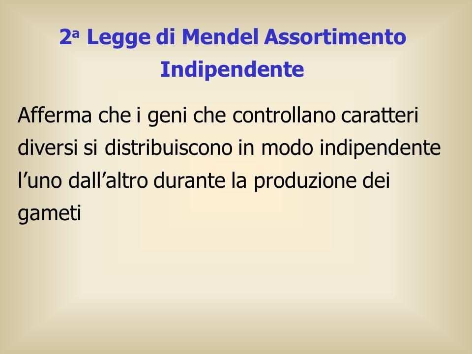 2 a Legge di Mendel Assortimento Indipendente Afferma che i geni che controllano caratteri diversi si distribuiscono in modo indipendente luno dallalt