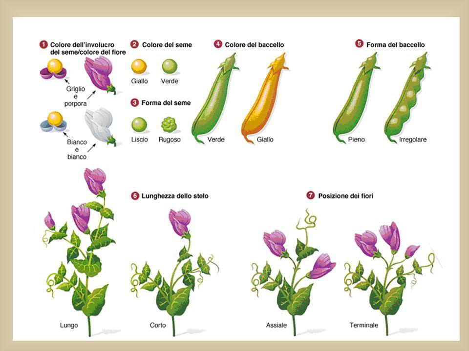 Mendel studiò 7 coppie di caratteri (contrastanti e ben definiti)della pianta del pisello odoroso : lavorò su LINEE PURE cioè su una popolazione che s