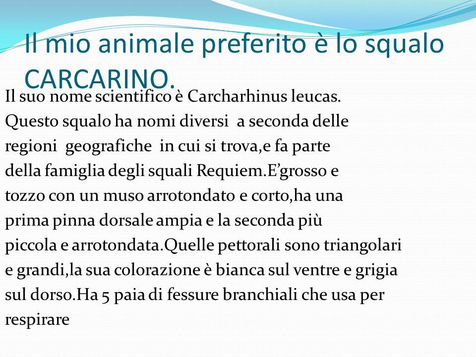 Il mio animale preferito è lo squalo CARCARINO. Il suo nome scientifico è Carcharhinus leucas. Questo squalo ha nomi diversi a seconda delle regioni g
