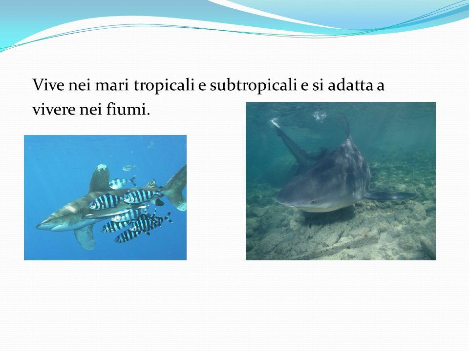 Vive nei mari tropicali e subtropicali e si adatta a vivere nei fiumi.
