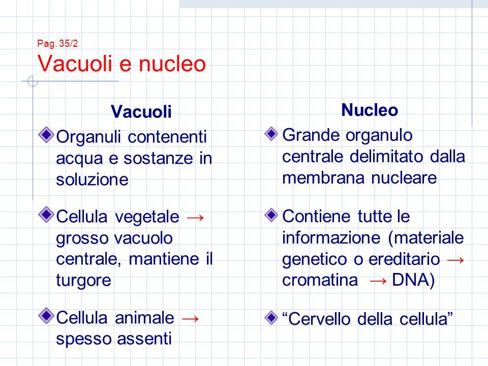 Pag. 35/2 Vacuoli e nucleo Vacuoli Organuli contenenti acqua e sostanze in soluzione Cellula vegetale grosso vacuolo centrale, mantiene il turgore Cel