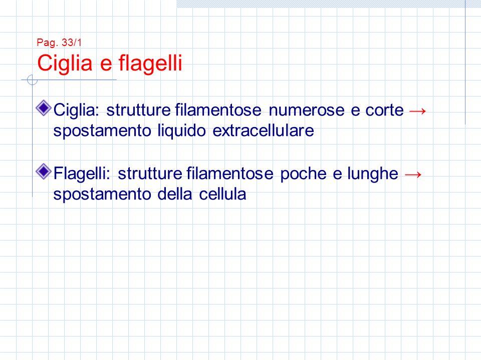 Ciglia: strutture filamentose numerose e corte spostamento liquido extracellulare Flagelli: strutture filamentose poche e lunghe spostamento della cel