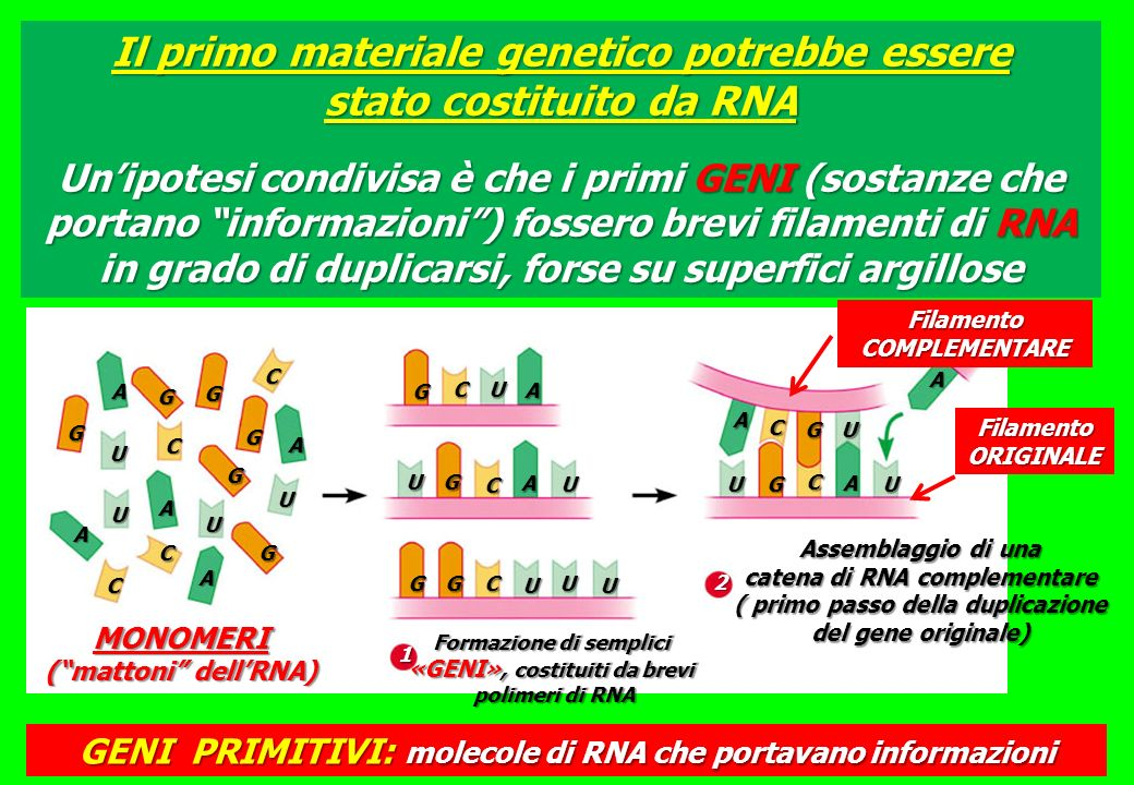 Il primo materiale genetico potrebbe essere stato costituito da RNA Unipotesi condivisa è che i primi GENI (sostanze che portano informazioni) fossero brevi filamenti di RNA in grado di duplicarsi, forse su superfici argillose G A G G C G G G C C C A A A A U U U U G CU A UG C A U U CGGU U UG C A U A UG C A 1 2 Formazione di semplici «GENI», costituiti da brevi polimeri di RNA Assemblaggio di una catena di RNA complementare ( primo passo della duplicazione del gene originale) MONOMERI (mattoni dellRNA) GENI PRIMITIVI: molecole di RNA che portavano informazioni Filamento ORIGINALE Filamento COMPLEMENTARE