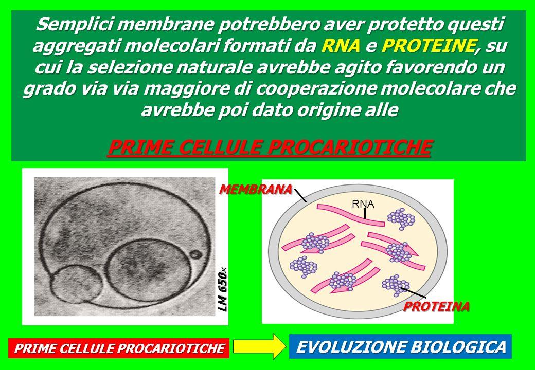 Semplici membrane potrebbero aver protetto questi aggregati molecolari formati da RNA e PROTEINE, su cui la selezione naturale avrebbe agito favorendo un grado via via maggiore di cooperazione molecolare che avrebbe poi dato origine alle PRIME CELLULE PROCARIOTICHE LM 650 LM 650 RNA MEMBRANA PROTEINA PRIME CELLULE PROCARIOTICHE EVOLUZIONE BIOLOGICA