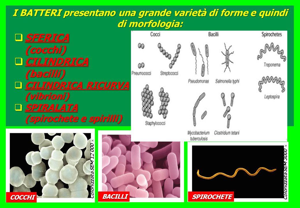 Colonizzata SEM 12 000 Colonizzata SEM 9000 Colonizzata SEM 3000 I BATTERI presentano una grande varietà di forme e quindi di morfologia: SFERICA SFERICA(cocchi) CILINDRICA CILINDRICA(bacilli) CILINDRICA RICURVA CILINDRICA RICURVA(vibrioni) SPIRALATA SPIRALATA (spirochete e spirilli) COCCHI BACILLI SPIROCHETE
