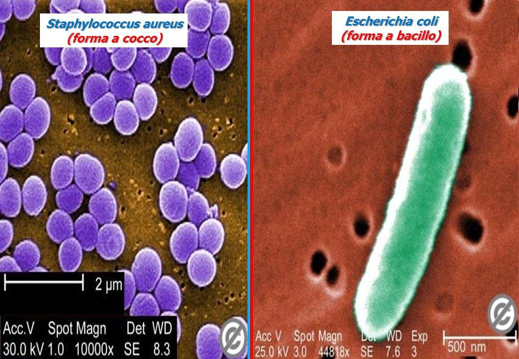 Staphylococcus aureus (forma a cocco) Escherichia coli (forma a bacillo)