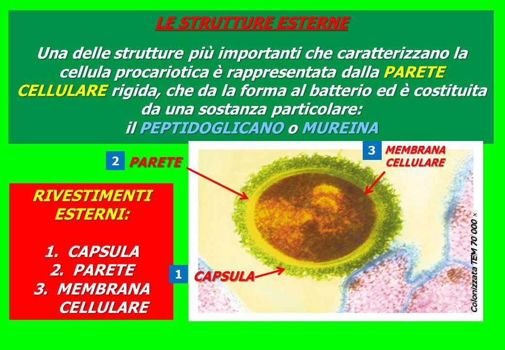 LE STRUTTURE ESTERNE Una delle strutture più importanti che caratterizzano la cellula procariotica è rappresentata dalla PARETE CELLULARE rigida, che da la forma al batterio ed è costituita da una sostanza particolare: il PEPTIDOGLICANO o MUREINA Colonizzata TEM 70 000 Colonizzata TEM 70 000 CAPSULA PARETE RIVESTIMENTI ESTERNI: 1.CAPSULA 2.PARETE 3.MEMBRANA CELLULARE MEMBRANACELLULARE 1 2 3