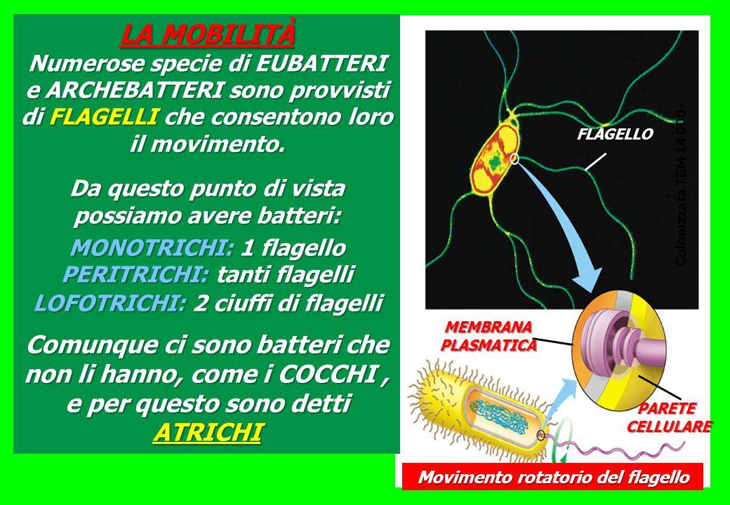 FLAGELLO MEMBRANAPLASMATICA PARETE CELLULARE CELLULARE Movimento rotatorio del flagello Colonizzata TEM 14 000 LA MOBILITÀ Numerose specie di EUBATTER