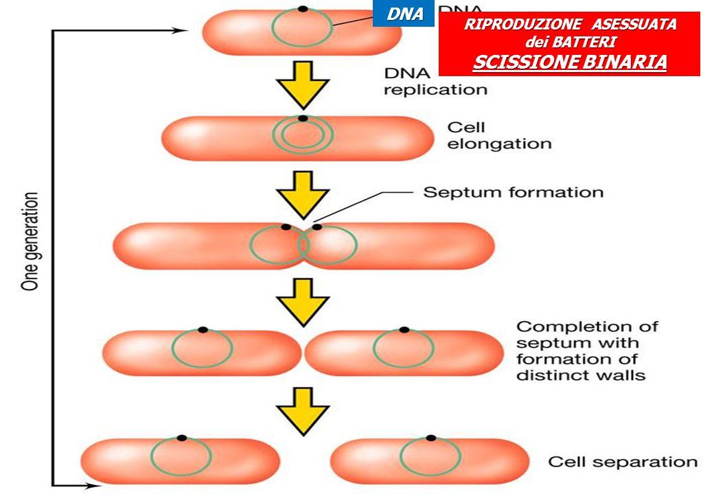 RIPRODUZIONE ASESSUATA dei BATTERI SCISSIONE BINARIA DNA