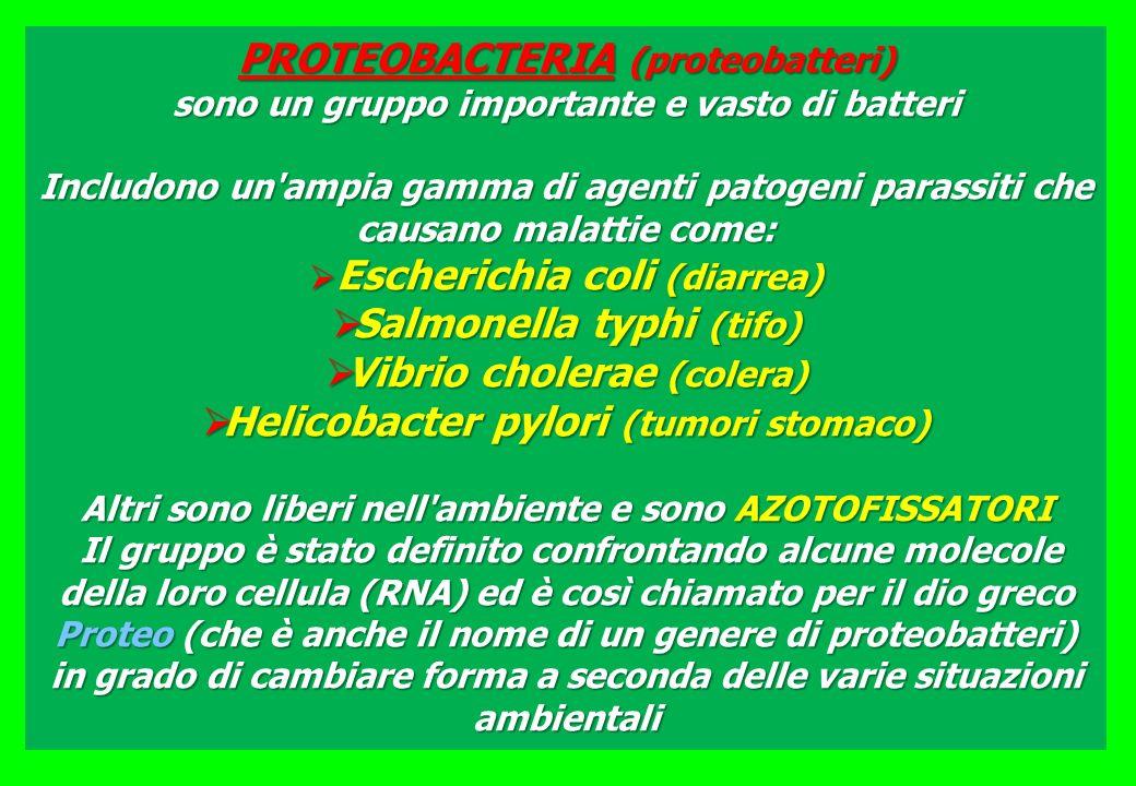PROTEOBACTERIA (proteobatteri) sono un gruppo importante e vasto di batteri Includono un'ampia gamma di agenti patogeni parassiti che causano malattie