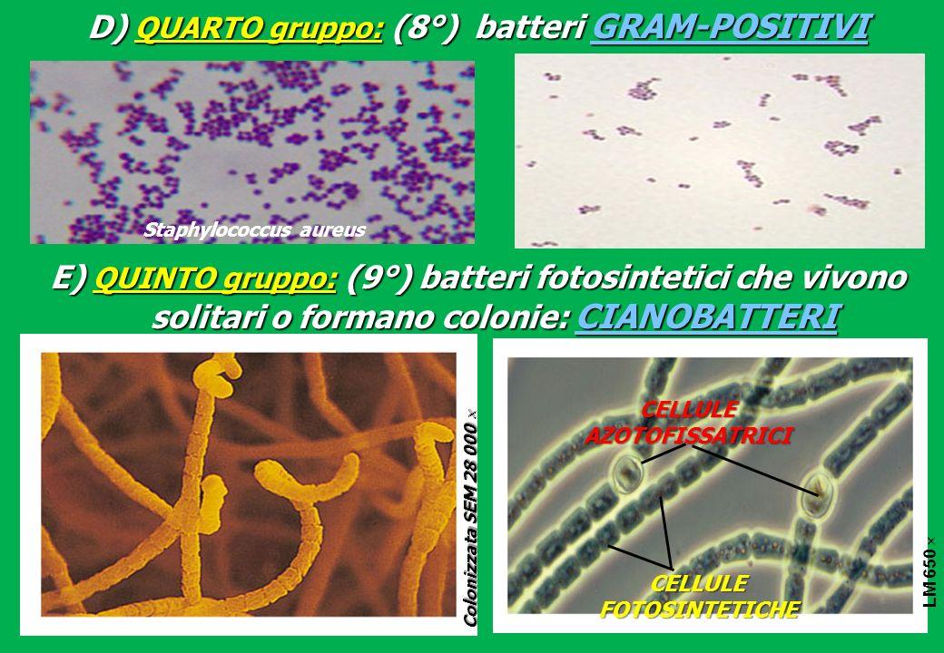 D) QUARTO gruppo: (8°) batteri GRAM-POSITIVI E) QUINTO gruppo: (9°) batteri fotosintetici che vivono solitari o formano colonie: CIANOBATTERI Colorized SEM 2,800 LM 650 CELLULEFOTOSINTETICHE CELLULE AZOTOFISSATRICI Colonizzata SEM 28 000 Colonizzata SEM 28 000 Staphylococcus aureus