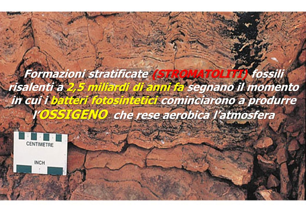 Formazioni stratificate (STROMATOLITI) fossili risalenti a 2,5 miliardi di anni fa segnano il momento in cui i batteri fotosintetici cominciarono a produrre l OSSIGENO che rese aerobica latmosfera