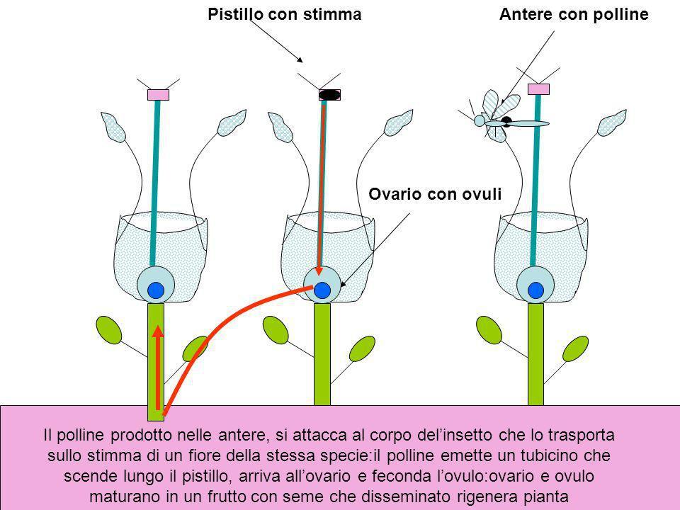 Antere con pollinePistillo con stimma Ovario con ovuli Il polline prodotto nelle antere, si attacca al corpo delinsetto che lo trasporta sullo stimma