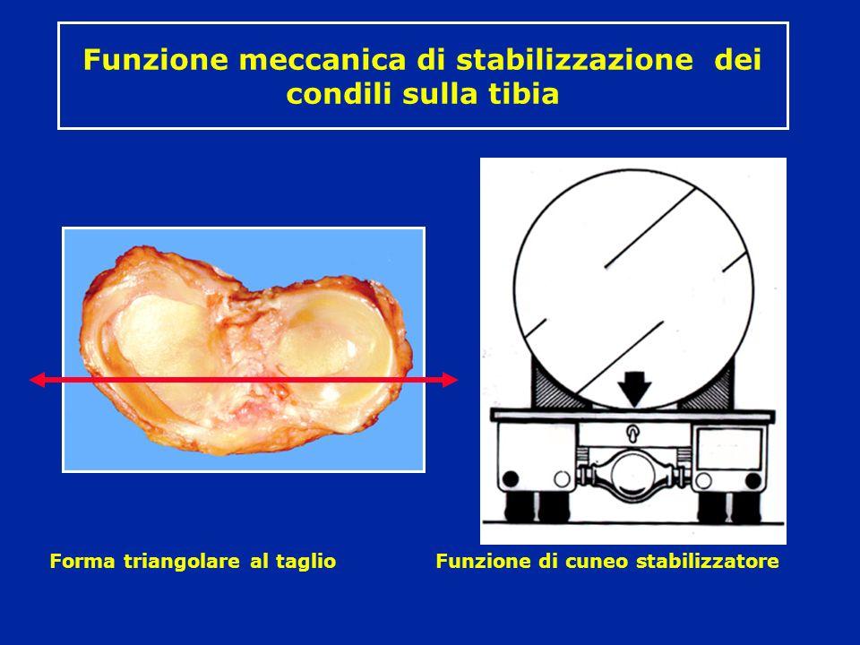 Funzione meccanica di stabilizzazione dei condili sulla tibia Forma triangolare al taglio Funzione di cuneo stabilizzatore