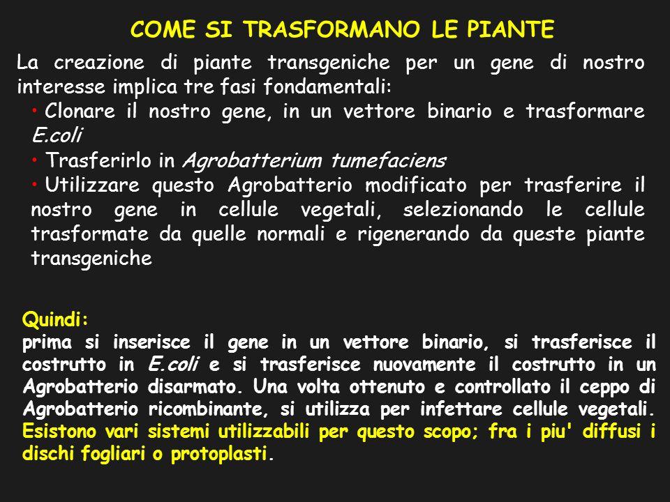 La creazione di piante transgeniche per un gene di nostro interesse implica tre fasi fondamentali: Clonare il nostro gene, in un vettore binario e tra