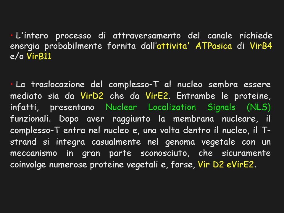 La traslocazione del complesso-T al nucleo sembra essere mediato sia da VirD2 che da VirE2. Entrambe le proteine, infatti, presentano Nuclear Localiza