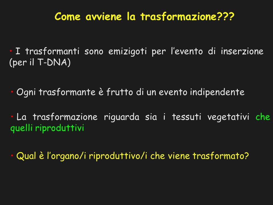 Come avviene la trasformazione??? I trasformanti sono emizigoti per levento di inserzione (per il T-DNA) Ogni trasformante è frutto di un evento indip