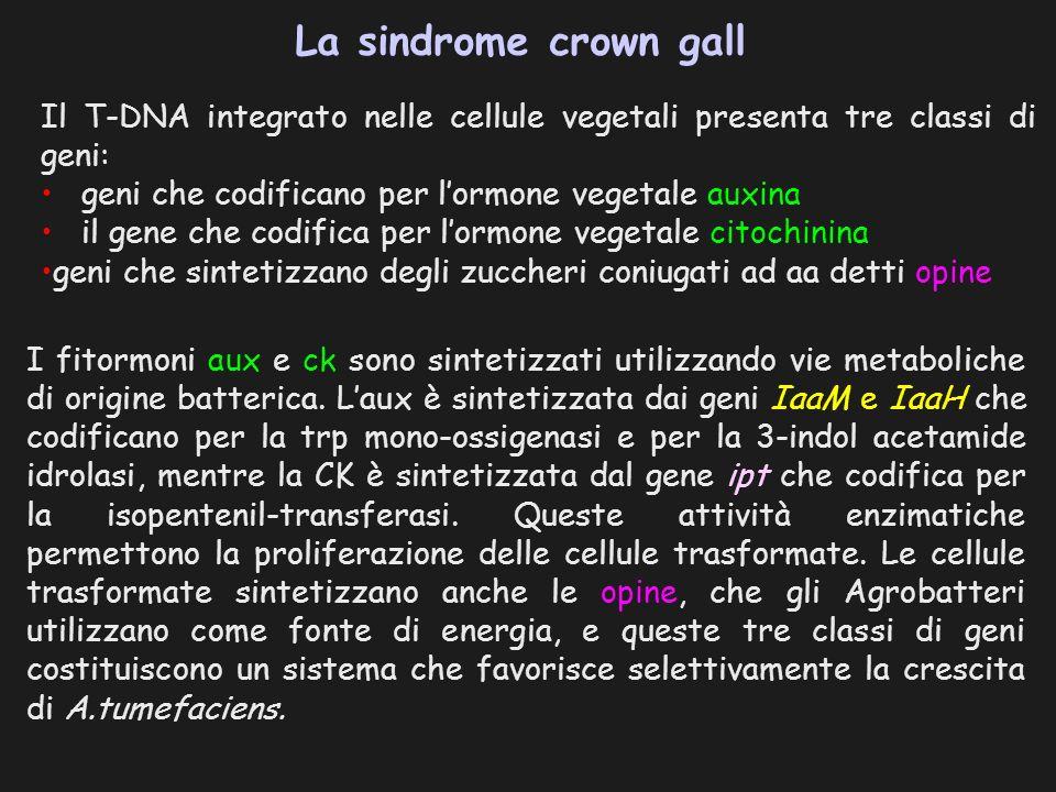 La sindrome crown gall Il T-DNA integrato nelle cellule vegetali presenta tre classi di geni: geni che codificano per lormone vegetale auxina il gene