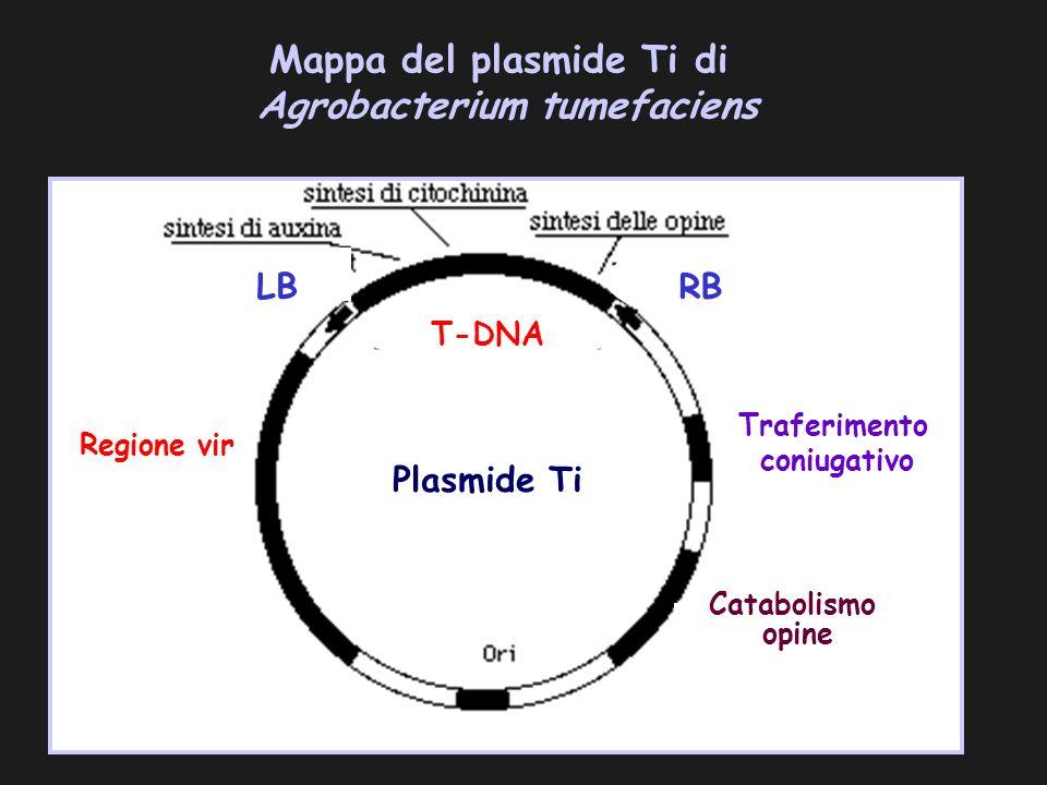 Mappa del plasmide Ti di Agrobacterium tumefaciens Regione vir LB RB Traferimento coniugativo Plasmide Ti Catabolismo opine T-DNA