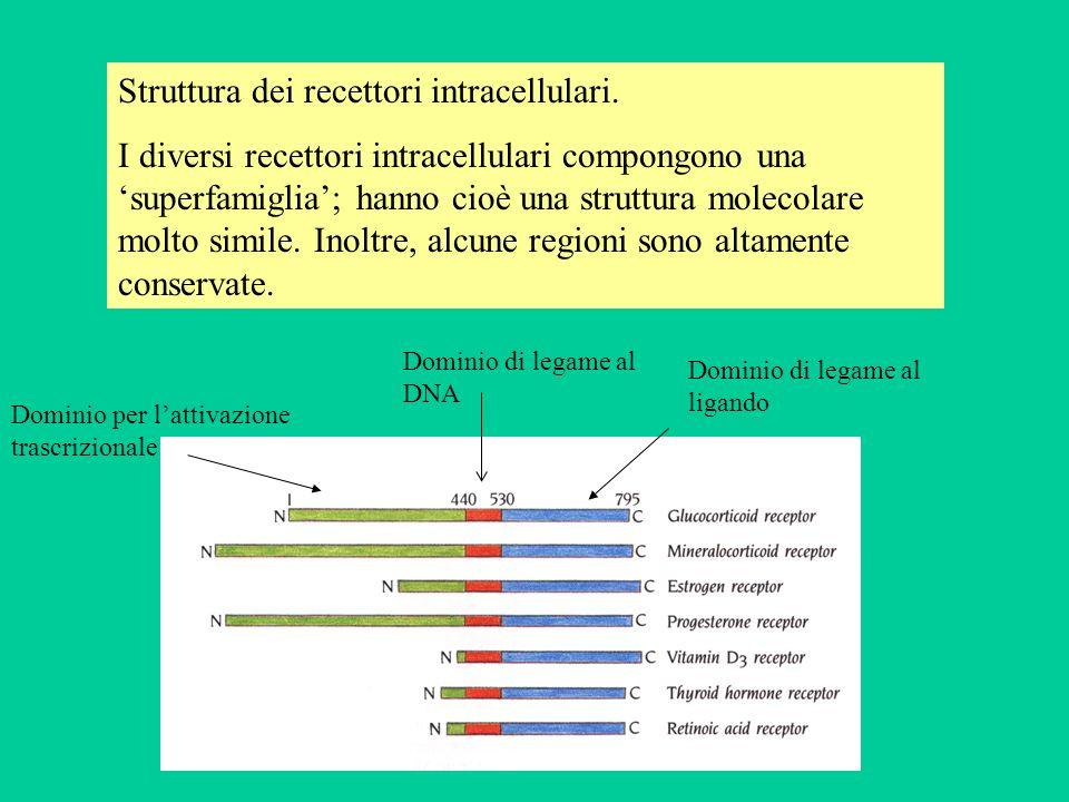 Struttura dei recettori intracellulari. I diversi recettori intracellulari compongono una superfamiglia; hanno cioè una struttura molecolare molto sim