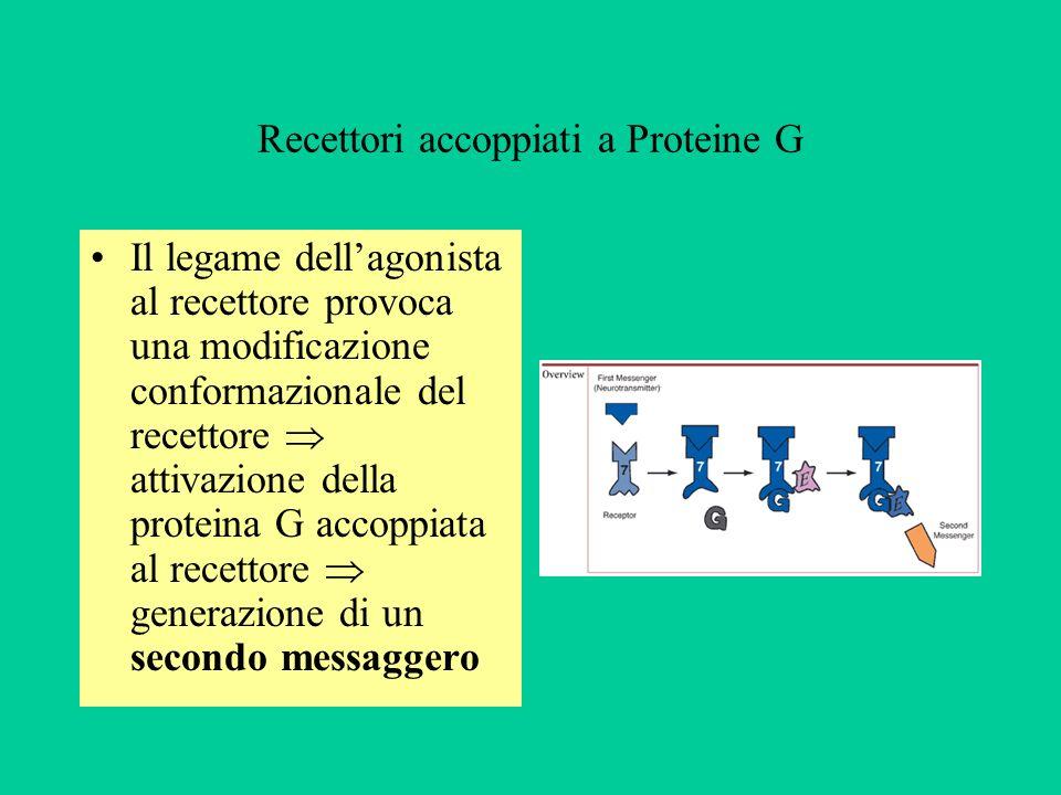 Recettori accoppiati a Proteine G Il legame dellagonista al recettore provoca una modificazione conformazionale del recettore attivazione della protei